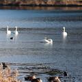 28.12.29松ヶ丘河川公園から望む白鳥