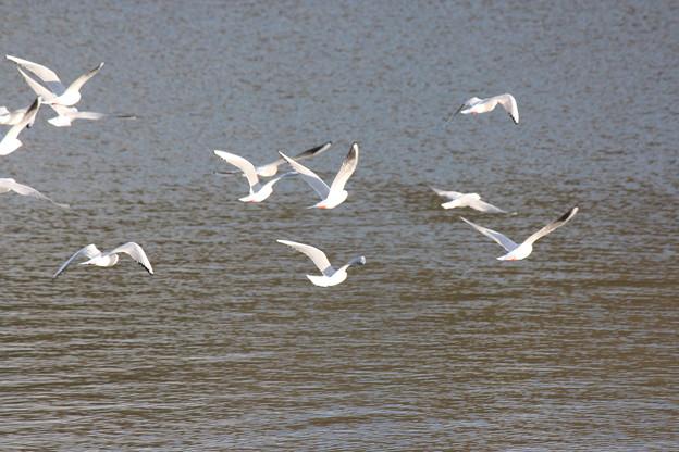 Photos: 29.1.7加瀬沼の野鳥