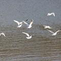 29.1.7加瀬沼の野鳥