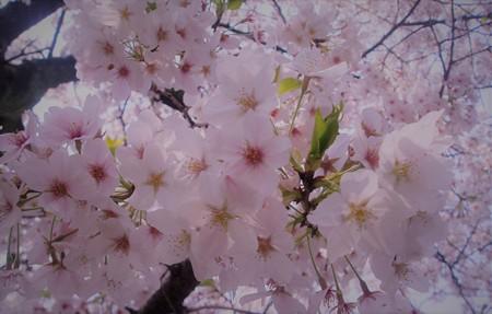 東京・中野・練馬・江古田、ヴァイオリン・ヴィオラ・音楽教室 桜