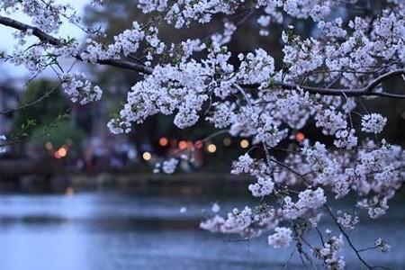 東京・中野・練馬・江古田、ヴァイオリン・ヴィオラ・音楽教室 お花見