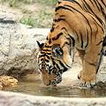 Photos: 水を飲んでいますトラの写真です。