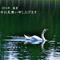 写真: 夏の白鳥