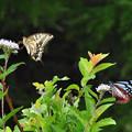 Photos: 昼下がりの蝶たち