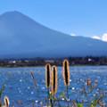 Photos: むらさき富士とムラサキエノコログサ