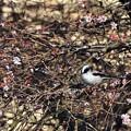 写真: 冬桜の中で・