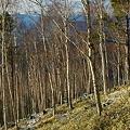 若い白樺林