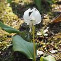 写真: 白花かたくり