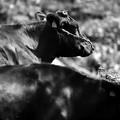 写真: 牛