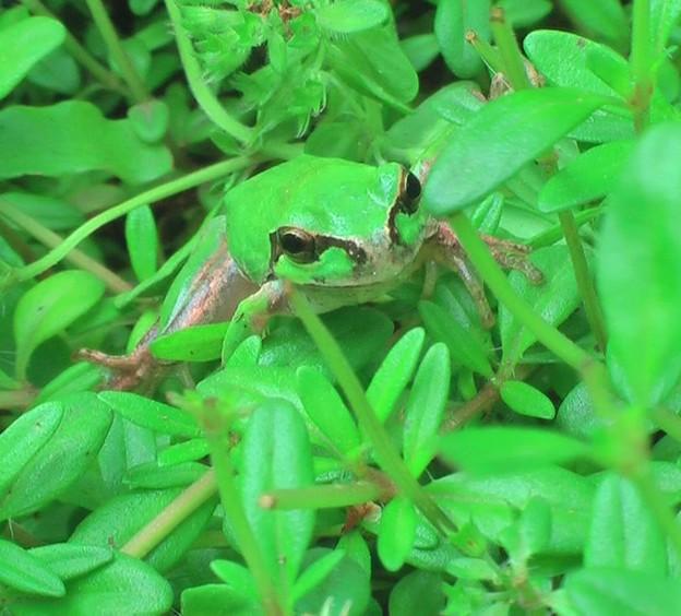 写真: 庭のカエルです