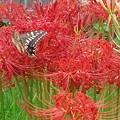 【10532号】花と蝶 平成280929 #NPS