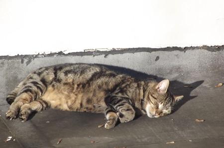 キンセールのネコ0118