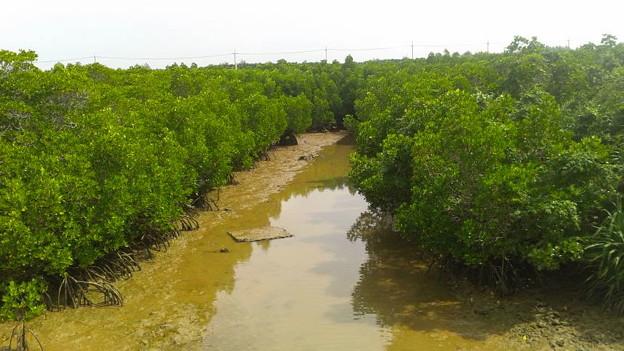 島尻のマングローブ林2